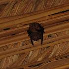 Greater Sac-winged Bat mating