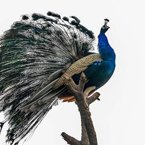Peafowl(Indian Peacock) by Brijesh Meena - Animals Birds ( indian, wildlife, birds, peacock, indian peacock,  )