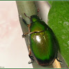Anomala Scarab Beetle