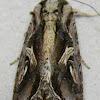 Sweetpotato Armyworm Moth