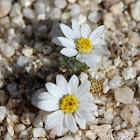Daisy-Desertstar