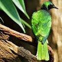 Iris Glossy-Starling