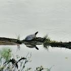 Painted Turtle  - La Tortue peinte