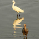 Snowy Egret (and friends)