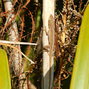 Unknown Anole