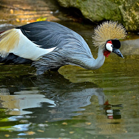Water Break by Roy Walter - Animals Birds ( bird, reflection, nature, zoo, animal )