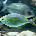 Sarpa salpa or Salema porgy