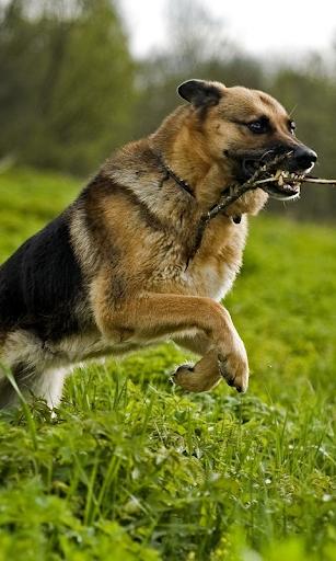 【免費個人化App】德國牧羊犬-APP點子