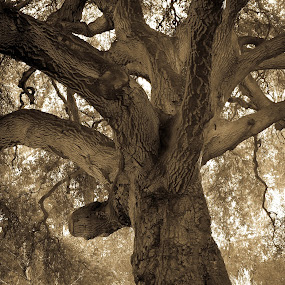 The Mighty Oak Tree by Leah N - Nature Up Close Trees & Bushes (  )