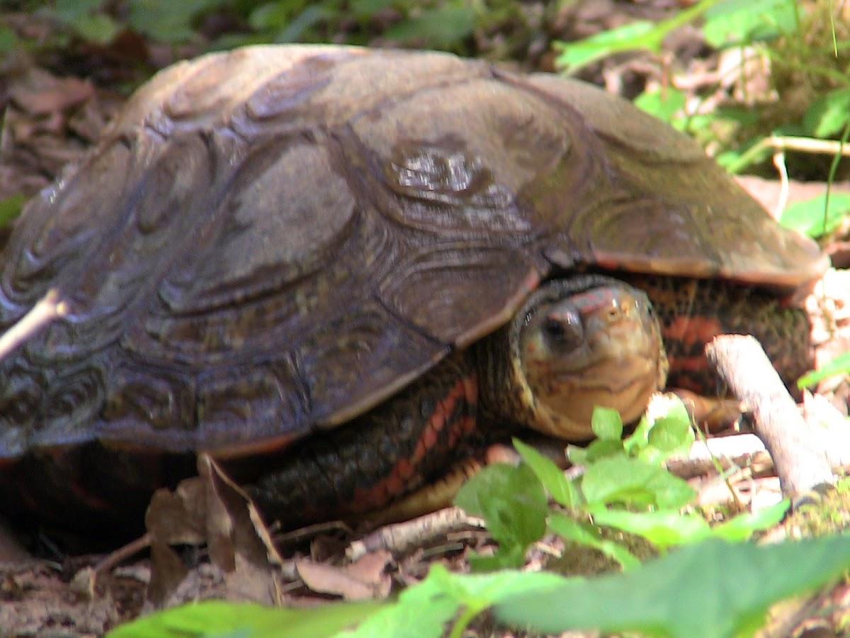 Honduran Wood Turtle