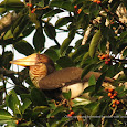 Burung Indonesia - Birds of Indonesia