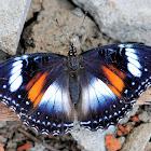 Java Butterfly Hypolimnas Bolina Nérina