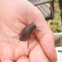 Greater diving beetle (female)