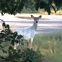 White-tailed Deer (piebald)