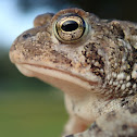 Fowler'sToad