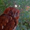 Eastern Screech Owl (Rufous Morph)