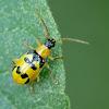 Skeletonizing leaf beetle