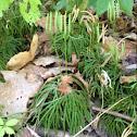 Ground pine club moss