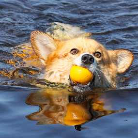 Tilted head by Mia Ikonen - Animals - Dogs Playing ( water, canine, ball, reflection, pet, funny, pembroke welsh corgi, summer, finland, dog, swimming, mia ikonen,  )