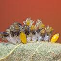 Ladybird Larvae and Eggs