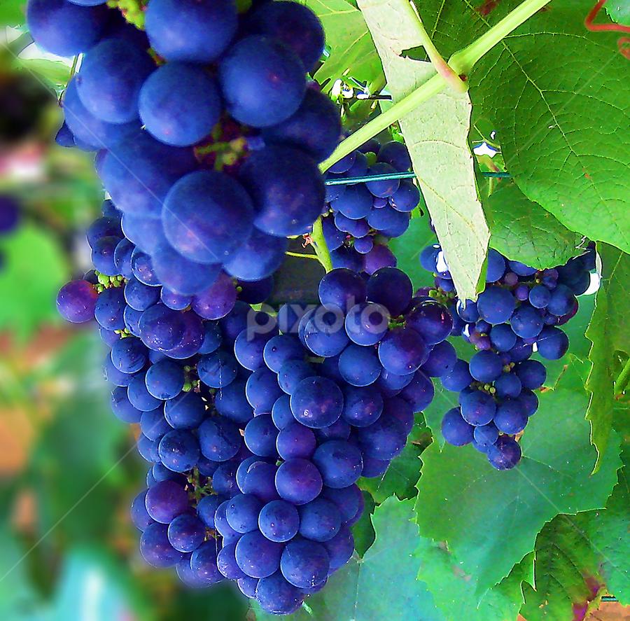 Grapes by Ad Spruijt - Nature Up Close Gardens & Produce ( grapes, grape, blue grape )