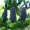 Abeto piñas azules