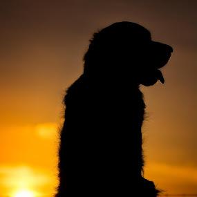 Sunset Silhouette by Brian Wilson - Animals - Dogs Portraits ( scotland, sunset, nikon, golden hour, golden retriever )