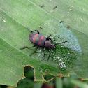 Beetle - Escarabajo