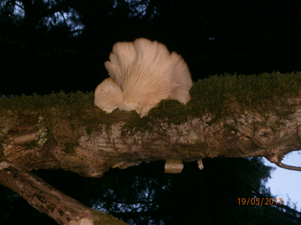 Oyster Mushrooms?