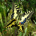 Macaón, Yellow Swallowtail
