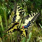 Macaón, Yellow Swallowtail