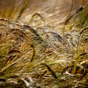 Gold. by Jim Moran - Nature Up Close Other Natural Objects ( field, barley, golden., summer, sun,  )