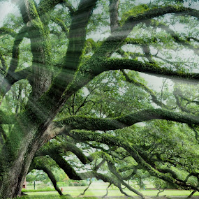 Water Oak by Danielle Calkins - Landscapes Forests (  )