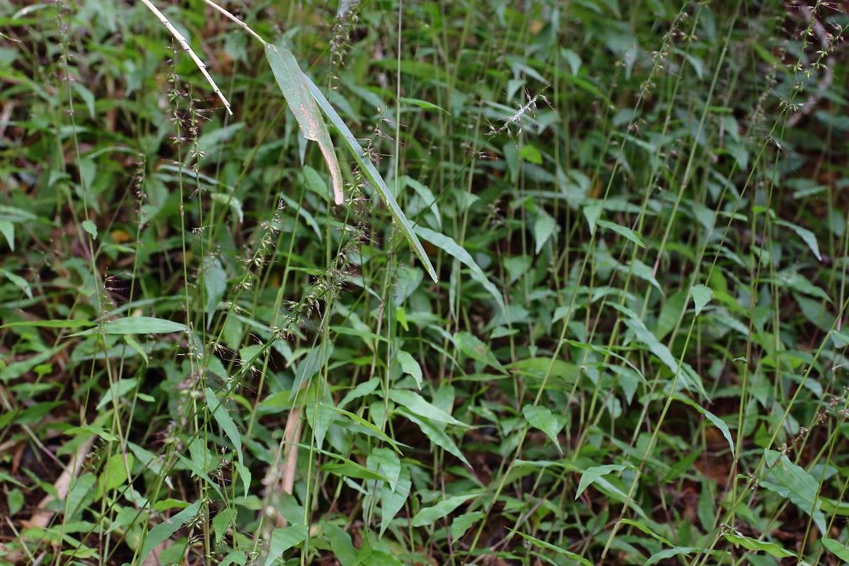 Wavyleaf Basketgrass