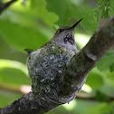 Anna's Hummingbird - In Nest