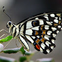 Lime butterfly