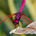 Common Scarlet