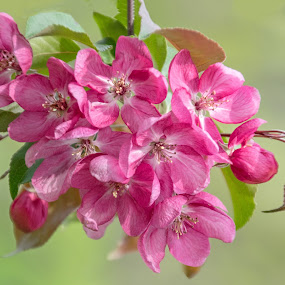 Crab-Apple Blossoms by Gerda Grice - Flowers Tree Blossoms ( crab-apple blossoms, pink blossoms, leaves, spring, blossoms, floral, pale green background, mood, mood factory, holiday, christmas, hanukkah, red, green, lights, artifical, lighting, colors, Kwanzaa, blue, black, celebrate, tis the season, festive )