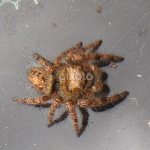 Elegant Light Brown Spider By Helen Harbison   Animals Insects U0026 Spiders ( Monkey  Spider, Jumping