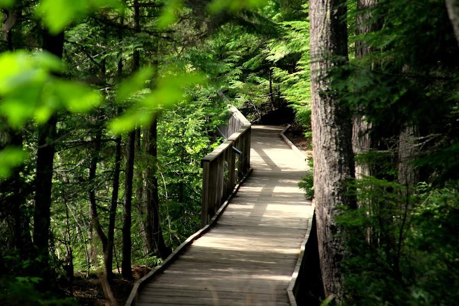 Walk Through Paradise by Joy Ortiz - Landscapes Forests ( cedar trees, montana, trees, boardwalk, glacier national park,  )