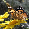 Australian Painted Lady Butterfly