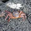 Cangrejo. Crab
