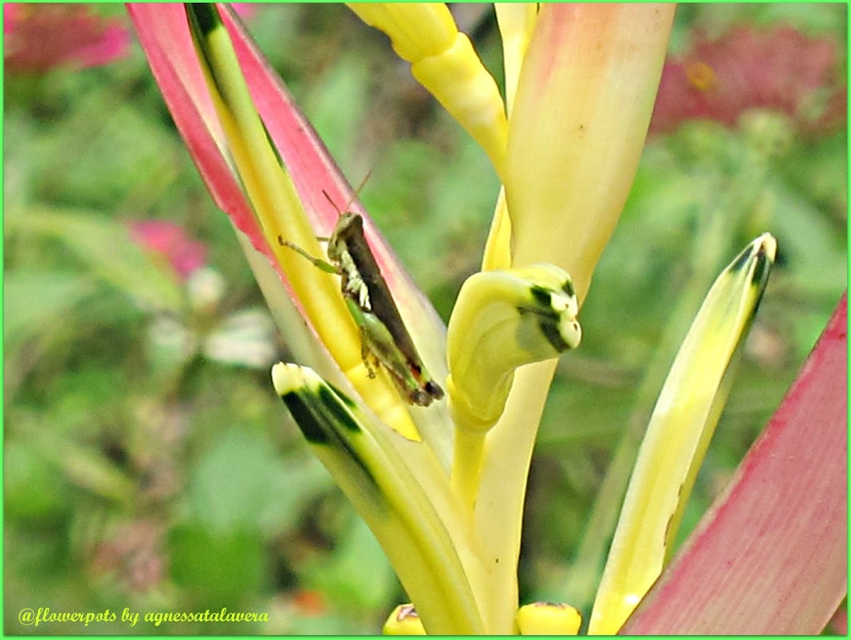 Rice Grasshopper