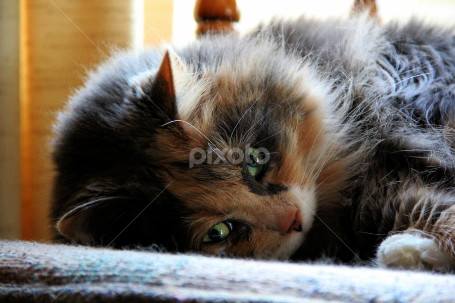 Gentle Giant by Marsha Biller - Animals - Cats Portraits ( calico, cat, furry, maine coon, green eyes, close up,  )