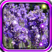 Lavender Music live wallpaper