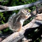 Harris's Antilope Ground Squirrel