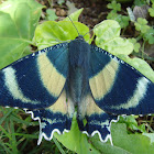 Zodiac Moth [North Queensland Day Moth]