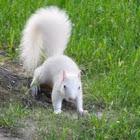 Albino Eastern Gray Squirrel