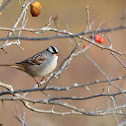 Eastern White-crowned Sparrow