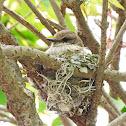Vermillion Flycatcher Nest